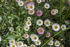 Karvinskianus d'Erigeron en fleur, fond de fleur Photographie stock