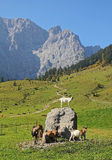 Karwendel valley with playing goats, austrian alps Stock Photo