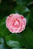 Karyn's Rose Stock Images
