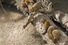 Karzełkowata mangusta Obraz Royalty Free