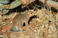 karzełkowata mangusta Fotografia Royalty Free