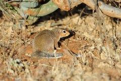 karzełkowata mangusta Zdjęcia Stock