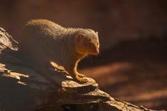 karzełkowata mangusta Zdjęcie Royalty Free