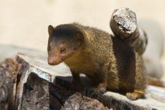 karzełkowata mangusta zdjęcie stock