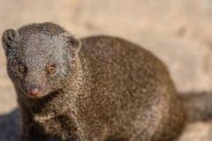 karzełkowata mangusta Obrazy Stock