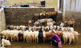 KARZOK, LADAKH, INDIEN - 18. AUGUST 2015: Nicht identifizierte Frau, die eine Herde von Ziegen im Yard in Karzok, Ladakh, Indien  Stockbild