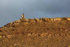 Kasachischer Eagle Hunter Berkutchi mit Pferd bei der Jagd zu den Hasen mit von Steinadlern auf seinen Armen Lizenzfreie Stockbilder