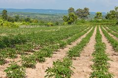 Kasawy lub manioka ziemi uprawnej rolnictwa rośliny pole Obrazy Royalty Free