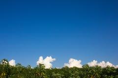 Kasawy plantacja, kasawy śródpolny rolnictwo w Tajlandia Zdjęcie Royalty Free