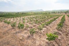Kasawy plantacja uprawia ziemi?, rosn?? kasawa zdjęcie royalty free