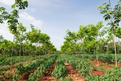 Kasawy plantacja w Tajlandia Zdjęcie Stock