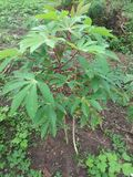 Kasawy rośliny przyrost Obrazy Stock