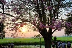 Kasetsart Kamphaeng Saen Uniwersyteccy Różowi Tubowi drzewa zdjęcia royalty free