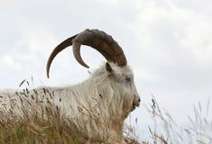 Kashmir goat Royalty Free Stock Image