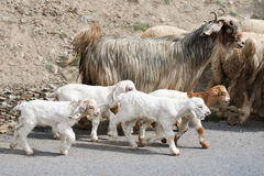 Kashmir goats from Indian highland farm. Kids goat and kashmir (pashmina) goats from Indian highland farm in Ladakh going with herd Royalty Free Stock Photo