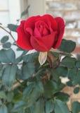 Kashmir Rosebush royalty-vrije stock fotografie