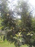 Kashmiri μήλο γούστου μήλων yummy στοκ εικόνες