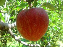 Kashmiri Apple Mainly Located In Cachemire photographie stock libre de droits