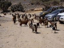 Kashmiri goats grazing in the mountains, Oman