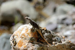 Kashmiri Rock Agama Stock Photo