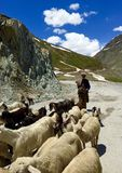 A Kashmiri Shepherd herding Goat in the Himalayas Stock Images