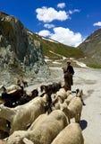 Kashmiri Shepherd que reúne la cabra en el Himalaya Imagenes de archivo