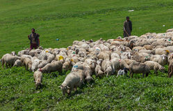 Kashmiri shepherd with sheep grazing Stock Images