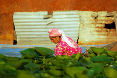 Kashmirian woman, Srinagar, Kashmir, India. Srinagar people are living on Dal Lake. Local woman are working on small artificial fields made on the mud of the Royalty Free Stock Image