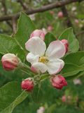 KashmiriAPPLE blomma royaltyfria foton