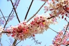 Kasi bakeriana kwiaty zdjęcia stock