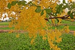 kasi drzewo lub Złotej prysznic drzewo Zdjęcie Stock