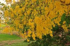 kasi drzewo lub Złotej prysznic drzewo Obraz Royalty Free