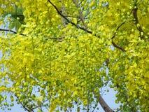 Kasi fistuły kwiat lub złotego prysznic kwiatu jaskrawy żółty pełny kwiat w lecie Fotografia Royalty Free
