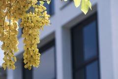Kasi fistula& x28; złoty prysznic tree& x29; , przeważny kwitnienie w lato Maja dniach It& x27; s także krajowy kwiat Tajlandia obraz stock