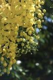 Kasi fistula& x28; złoty prysznic tree& x29; , przeważny kwitnienie w lato Maja dniach It& x27; s także krajowy kwiat Tajlandia zdjęcie stock