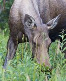 Kasilof moose Royalty Free Stock Image