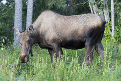 Kasilof moose Stock Photography