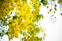 Kasja kwiat Zdjęcie Stock