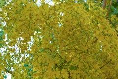 Kasji fistuła w żółtym kwiacie w lecie fotografia stock