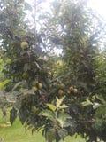 Kasjmier appel van de appelen yummy smaak stock afbeeldingen