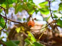 Kasjufrukt med muttern på filial av kasjuträdet - Anacardium Occidentale Royaltyfri Fotografi