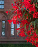 Kaskad av röda blommor framme av stenbyggnad Arkivbild