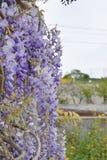 Kaskad av wisteriablommor Arkivbild