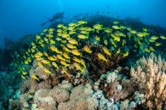 Kasmira för Lutjanus för skolgångbluestripesnapper i Gili, Lombok, Nusa Tenggara Barat, Indonesien undervattens- foto Arkivfoto