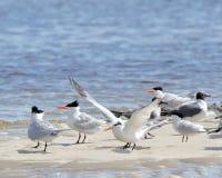 Kaspijscy terns i roześmiani frajery na sandbar Obraz Royalty Free