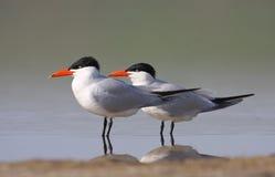 Kaspijski Tern Fotografia Stock
