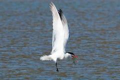 Kaspijski tern łapie ryba od jeziora i chwyci je w jego b Fotografia Stock