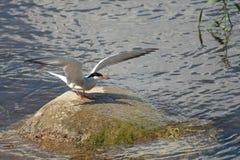 Kaspijski tern na kamieniu w wodzie zdjęcie stock