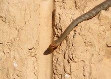 Kaspijski whipsnake Dolichophis caspius kraul wzdłuż pionowo gliny Zdjęcia Stock