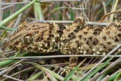 Kaspische Biegung-ausgewichene Nahaufnahme des Geckos (Tenuidactylus-caspius) Lizenzfreie Stockfotografie